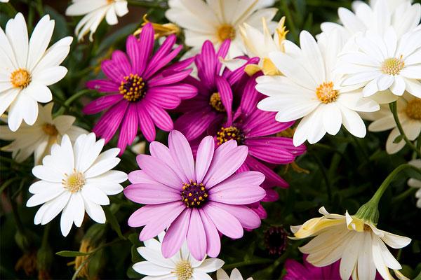 Так и плодятся многочисленные заблуждения о том, что ромашки бывают цветными и разноцветными.