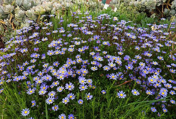 Назвать это растение синей ромашкой куда проще, чем фелицией амеловидной.