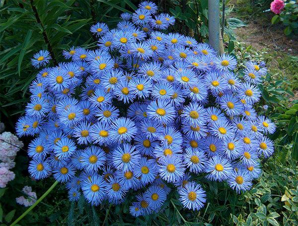 Хорошо видно, что краевые цветки у бергеры сильно отличаются от таковых у ромашки и больше похожи на астровые.