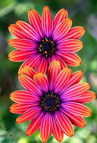 Отеоспермум интересен тем, что у него опыляются и дают семена не центральные, а краевые цветки. У ромашек все наоборот.