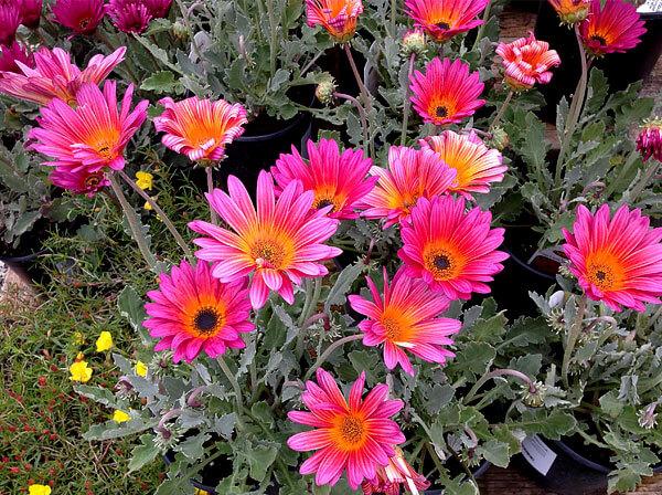 Иногда эти цветы называют розовыми ромашками, как и некоторые пиретрумы.