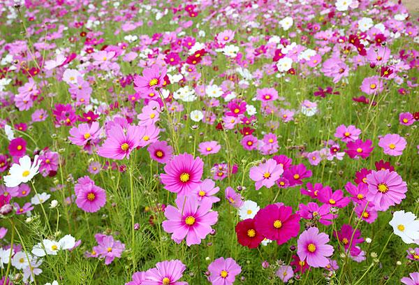 Один такой цветок больше похож на ромашку, чем скопление их на лугу.