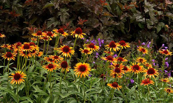 Интересно, что срединная часть соцветий эхинацеи имеет такую же форму, как и соцветия ромашки аптечной.
