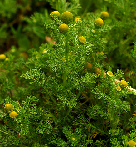 В первую очередь в глаза бросается отсутствие белой оторочки у соцветий, затем привлекает внимание достаточно густая облиствленность стеблей.