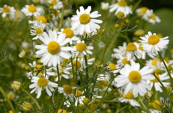 По ним можно отличить ромашку аптечную от других растений с похожими соцветиями.