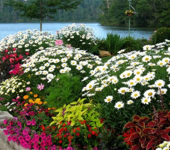 Какими бывают садовые ромашки