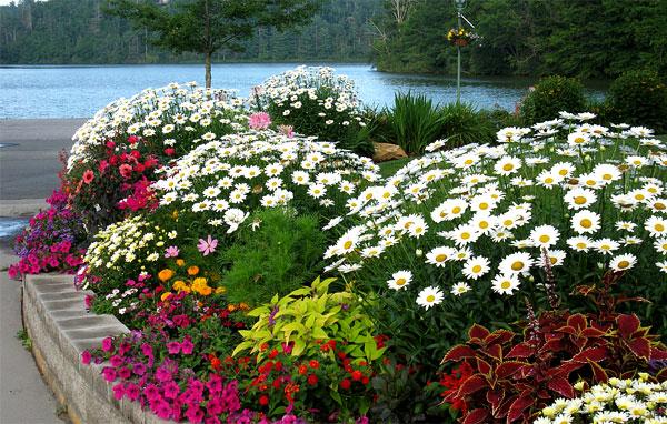 Для украшения клумб обычно используют или ромашковые хризантемы, или пиретрумы.