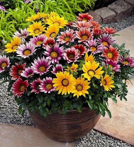 Расцветки этих соцветий могут быть самыми разными.