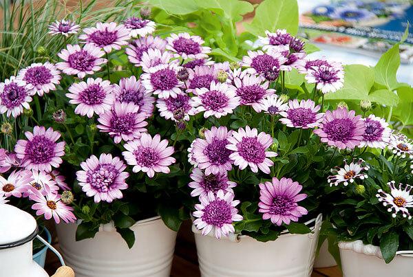 У остеоспермума, в отличие от других растений семейства астровых, оплодотворяются не внутренние, а внешние цветы в соцветии.