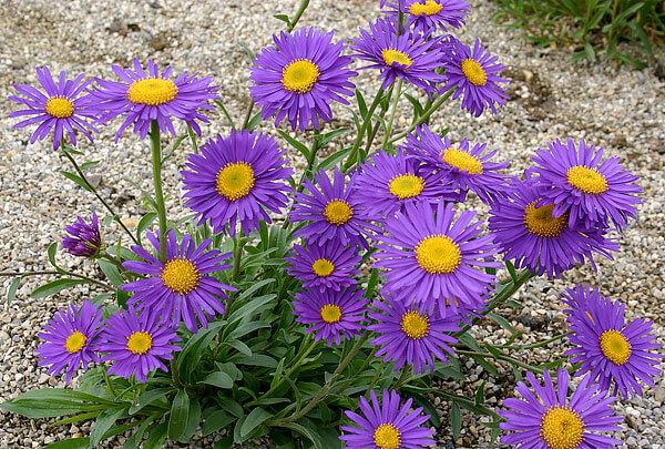 Для астр характерны длинные и тонкие краевые цветки.