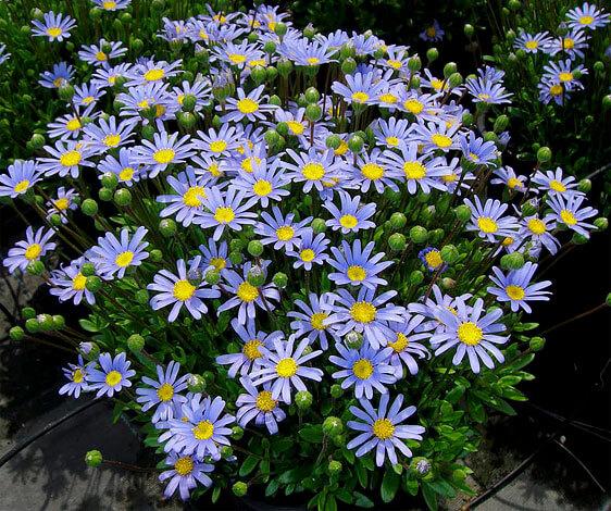 Назвать такие цветы фиолетовыми ромашками? Легко!