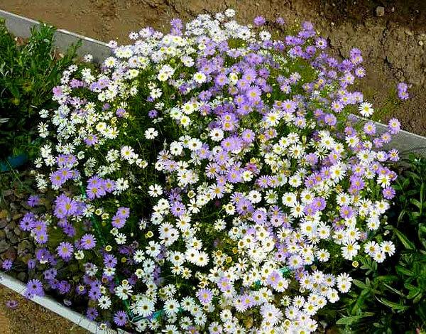 В просторечии такие цветы часто называют садовыми ромашками.