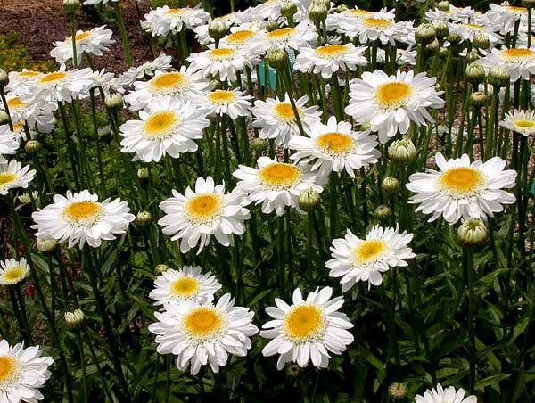 Двойной ряд краевых цветков - это уже результат селекции.