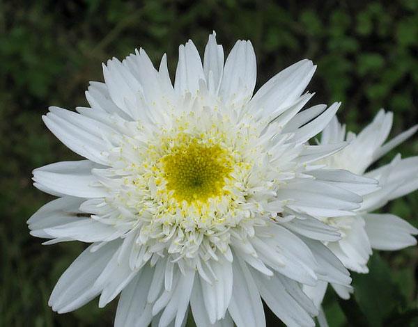 У этого сорта уже несколько рядов краевых цветков.