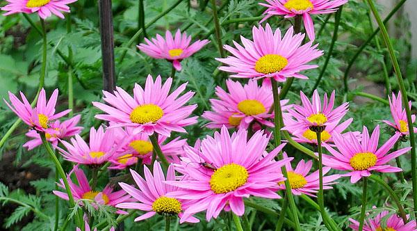 В её трубчатых цветках содержатся инсектицидные вещества, которые используются для борьбы с блохами и клопами.