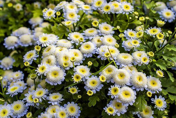 И такое сочетание цветов, и количество краевых цветков у диких форм не встречается.