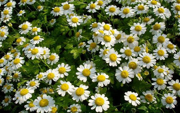 Благодаря округлости краевых цветков все соцветие кажется аккуратным и компактным.