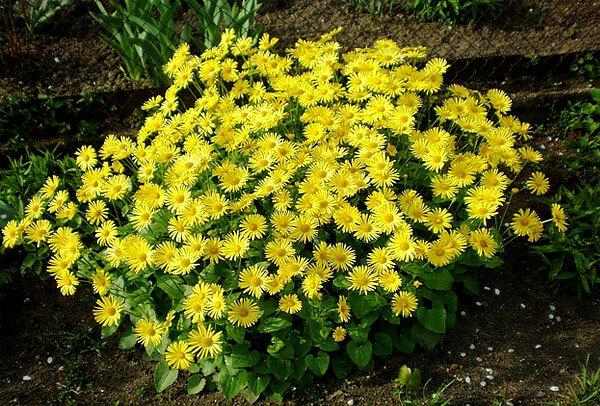 У истинных ромашек краевые цветки не бывают желтыми.