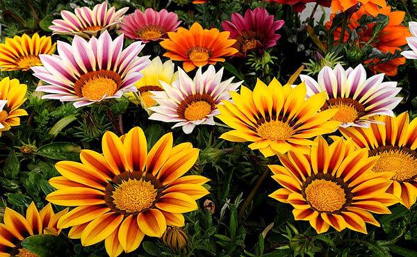 Газании очень узнаваемы именно за счет формы краевых цветков и острых краев их.