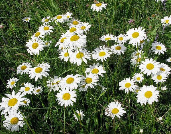 Сочетание цветов в его соцветиях такое же, как и у аптечной ромашки.