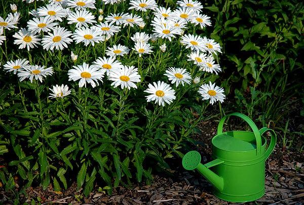 Лишь отдельные ромашковидные растения хорошо растут в тени.