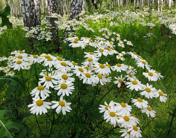 Свое название растение получило за характерную форму соцветий, напоминающую щиты.