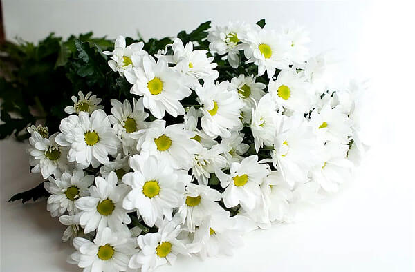 Эти цветы также называют большими ромашками.