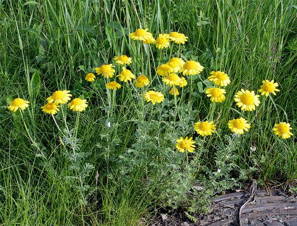 Это растение часто называют желтой ромашкой.