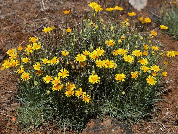 Форма куста этого растения сильно отличается от формы куста типичных ромашек.
