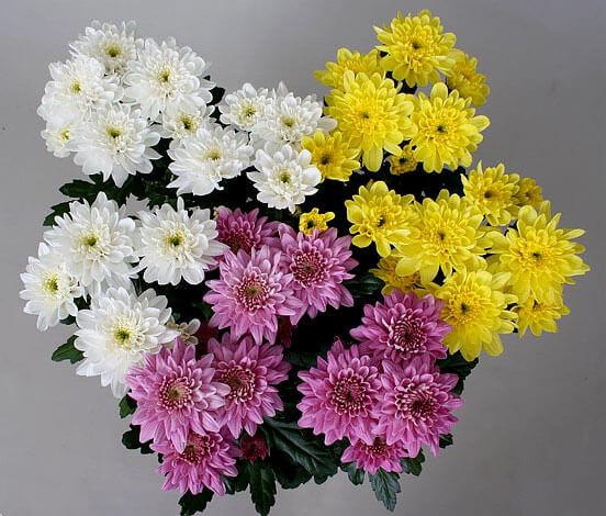 Ромашковые хризантемы - известный атрибут 1-го сентября