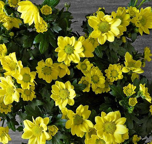 Отсутствие контраста цветов позволяет использовать эти растения в качестве фона для более заметных соцветий в букете.