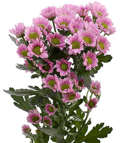 Такие хризантемы часто дарят женщинам в возрасте.
