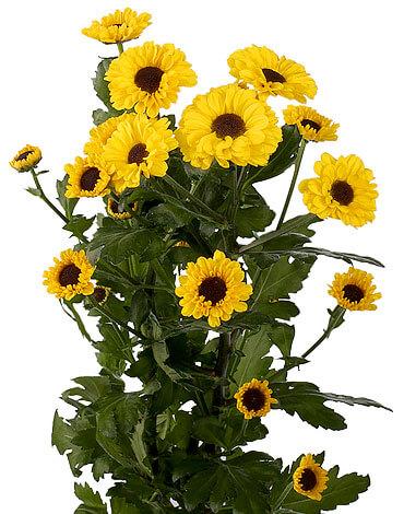 Темные срединные цветки делают этот сорт похожим на подсолнухи.