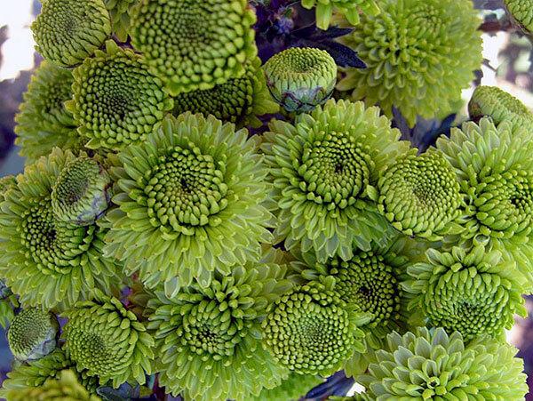 Такие оригинальные соцветия уже больше похожи на водоросли.
