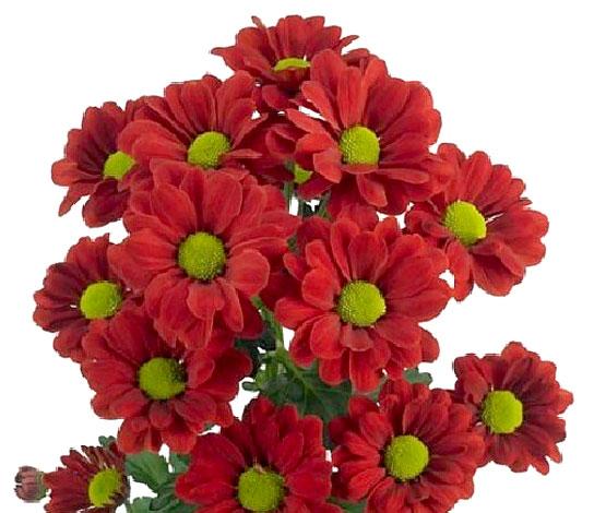 У этих хризантем краевые цветки кажутся искусственными.