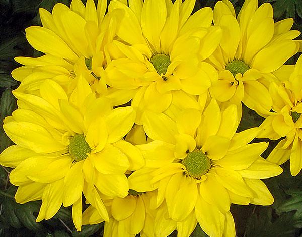 При опылении таких цветов оплодотворяются только внутренние, зеленоватые.