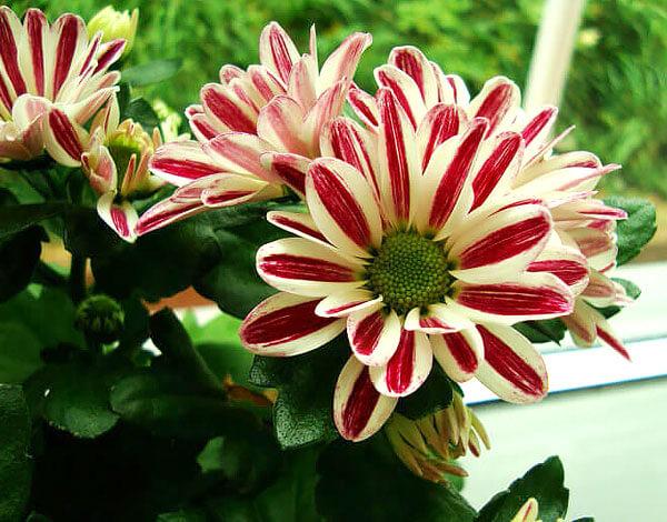 Такие декоративные соцветия используются в основном в украшении цветников.
