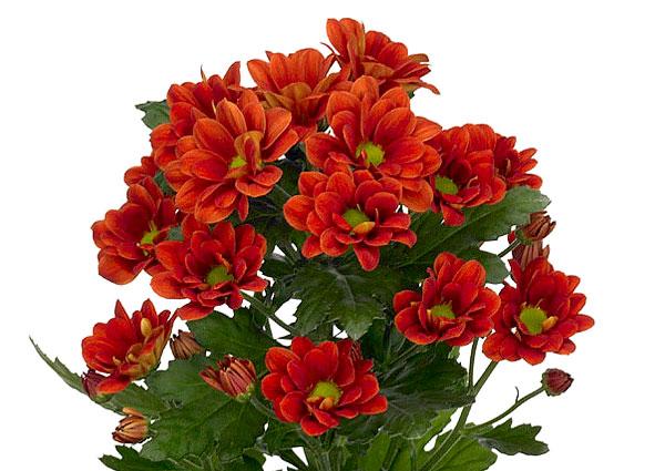 Очень строгие цветы, в основном используемые для самостоятельных букетов.
