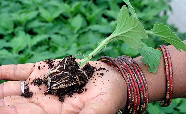 В таком возрасте рассаду уже высаживают в открытый грунт.