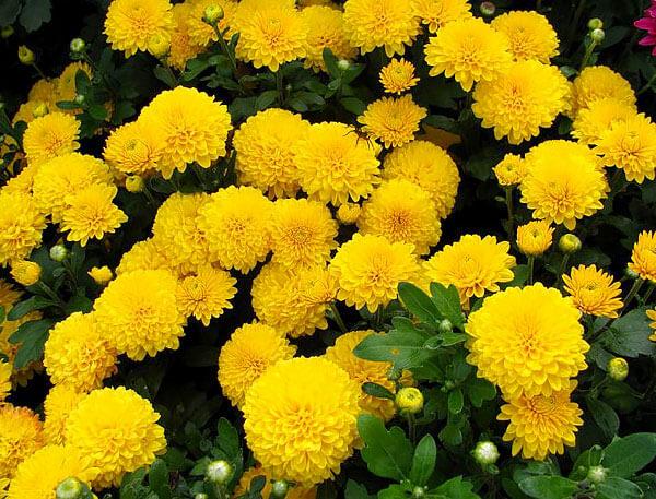 У махровых хризантем с ромашками внешне нет почти ничего общего.