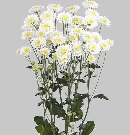 Их соцветия, на самом деле, очень невелики - около 3-4 см в диаметре.
