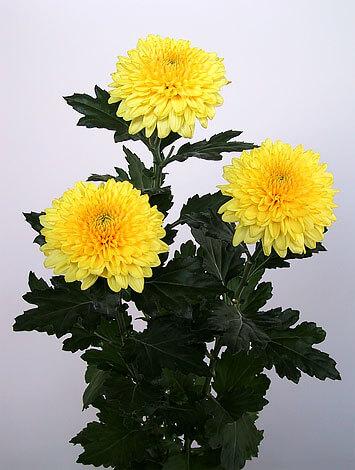 По соотношению размеров соцветия и листа видно, насколько это растение крупнее мелкоцветковой хризантемы.