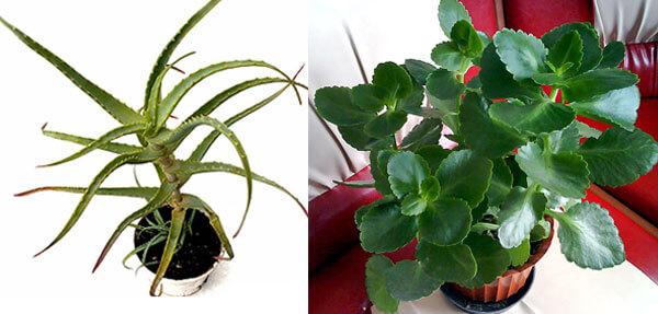 Совершенно очевидно, что это разные растения.