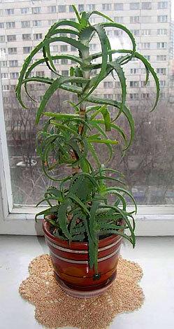 Алоэ отличается длинными мясистыми листьями, усаженными колючками по краям.