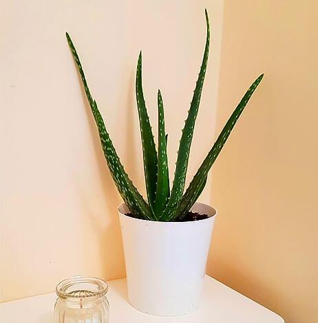 Внешний вид растения несколько иной, но видно, что это родственник алоэ древовидного.