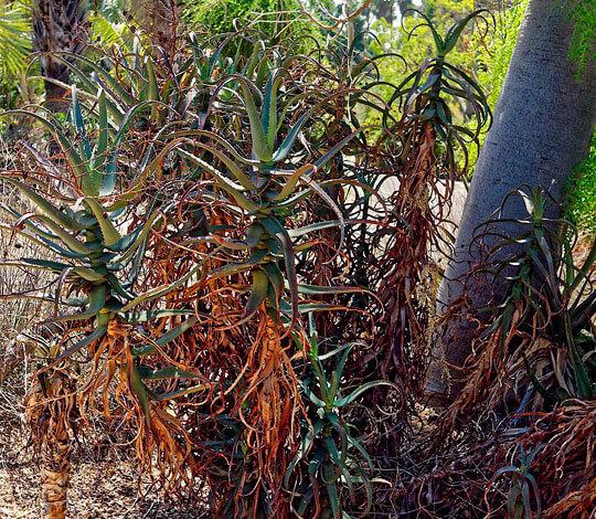 В таком диком виде кусты выглядят намного менее декоративно, чем аккуратно обрезанные домашние растения.