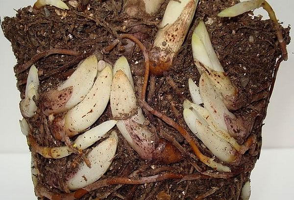 Когда места для корней становится слишком мало, растение начинает угнетаться.