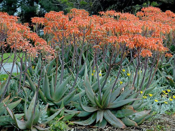 В таком виде алоэ растет в Африке, а как культурное растение - в Южных штатах США.