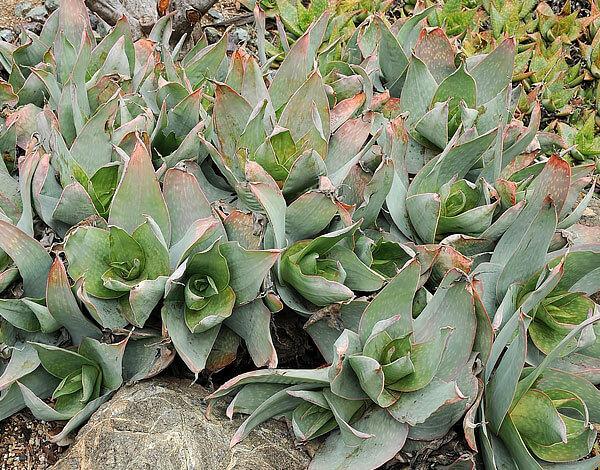 В некоторой мере оно похоже на алоэ полосатое, но имеет больше листьев.