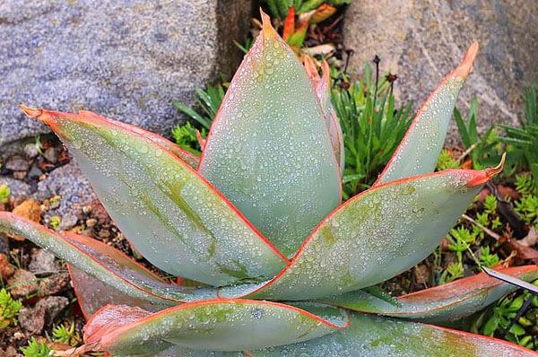 Даже легких морозов растение не переживет.